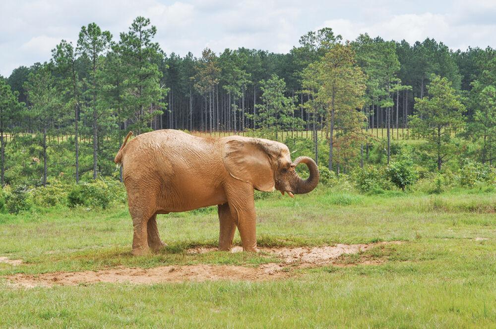 Flora — African elephant