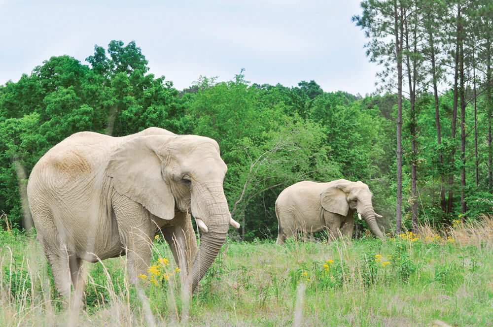 Sukari and Tange — African elephants
