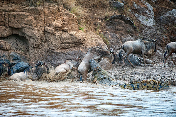 Crocodile taking a wildebeest from the banks of the Mara River, Kenya