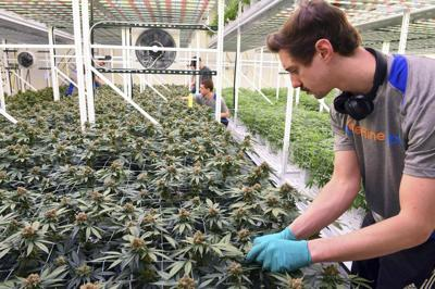 Medical Marijuana Minnesota