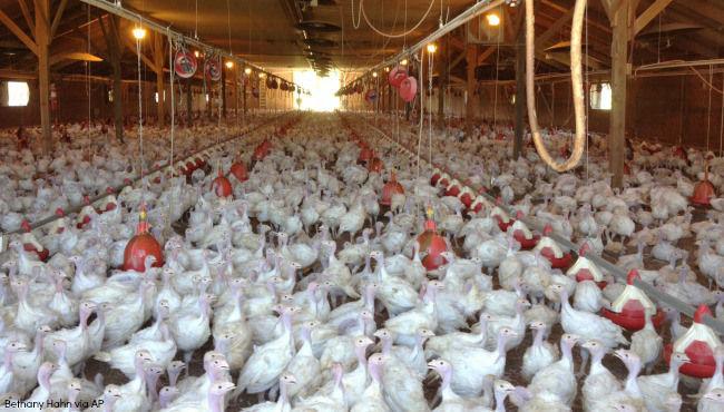 Avian flu hits southern Minnesota