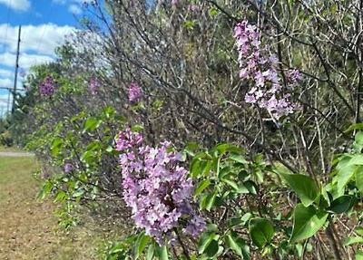 Lilacs blooming out of season