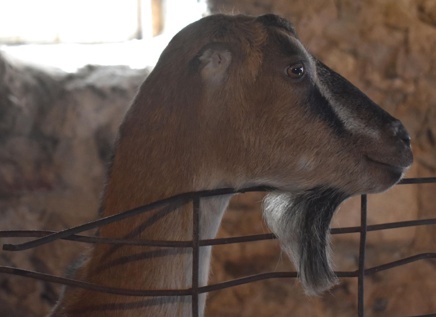 Angela the goat.jpg