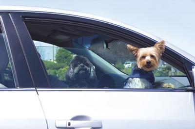 dogs in car.tif