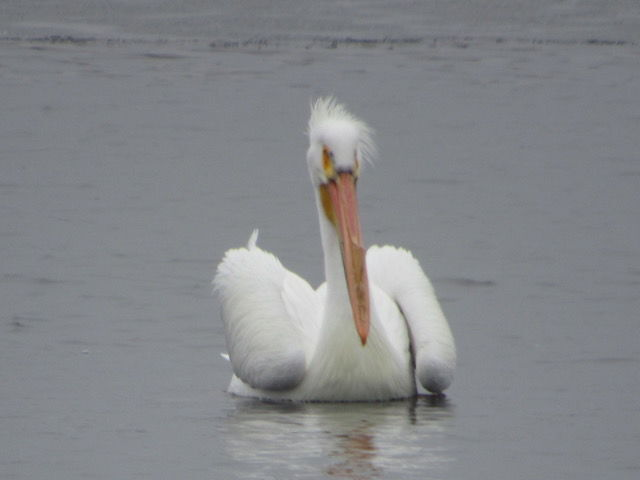 Near Nature - Pelican on Water