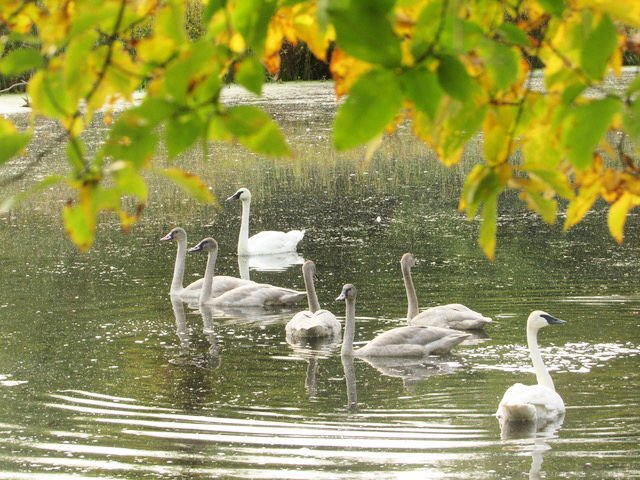 Near Nature - Trumpeter Swans