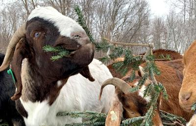 Goat Dispatch Christmas trees