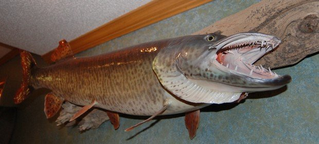 Kleinschmidt of kenyon hunts the trophy musky arts and for Muskie fish teeth