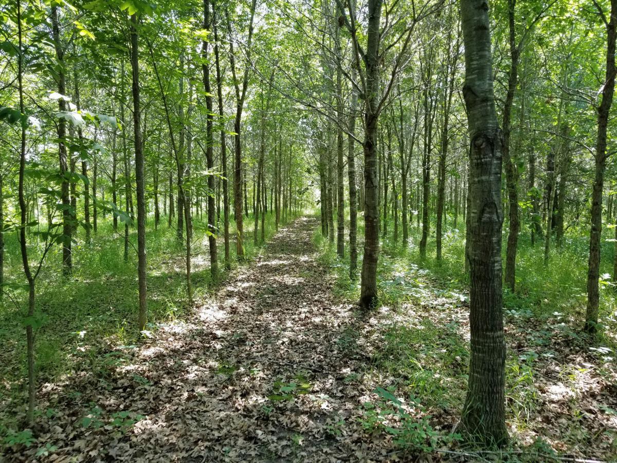 hardwood tree planting stanglers