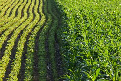 soybeans-corn