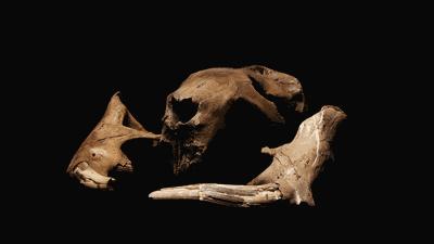 Beaver fossil