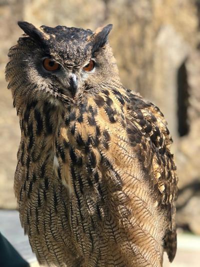 Gladys the owl