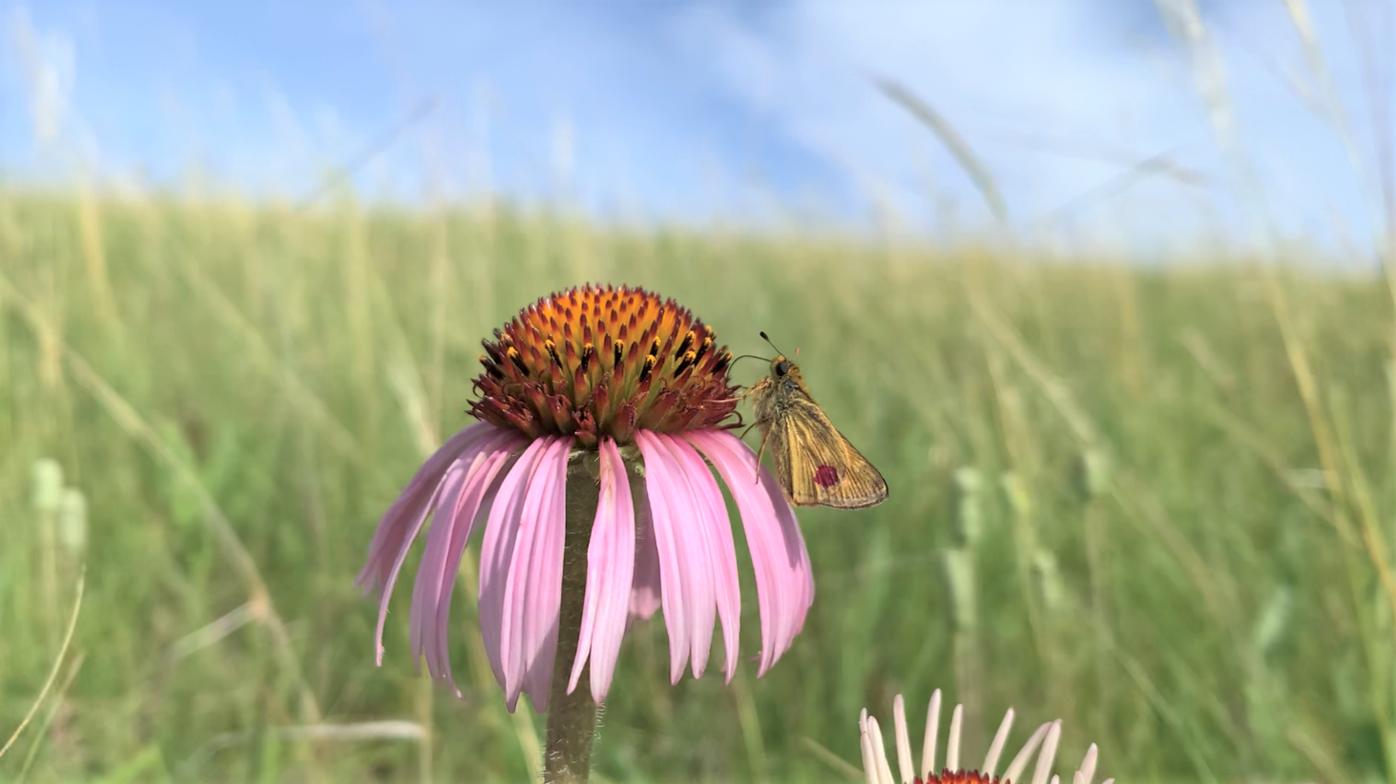 Marked Dakota skipper from 2020 reintroduction - MN Zoo.PNG
