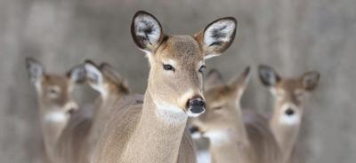 Deer concerns