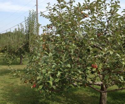 Small Farm Fruit Grower - Apple Harvest