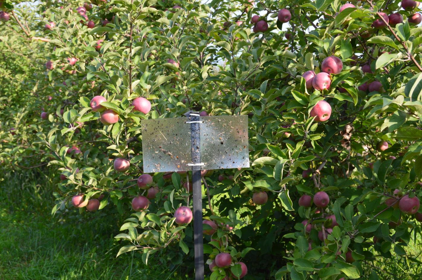 BMSB Trap Orchard 2018 10
