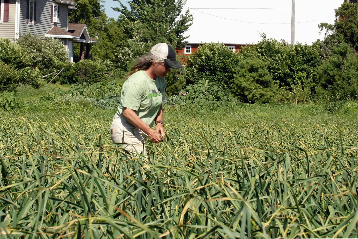Melissa Driscoll walks in the garlic plot