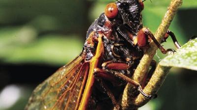 Cicadas Return.tif