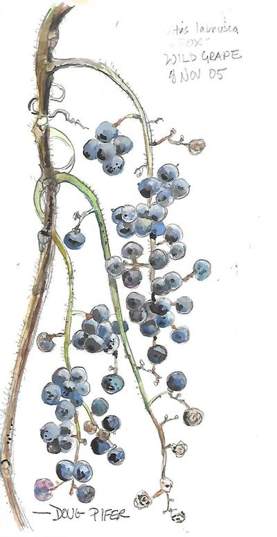 wild grape art by Doug .jpg