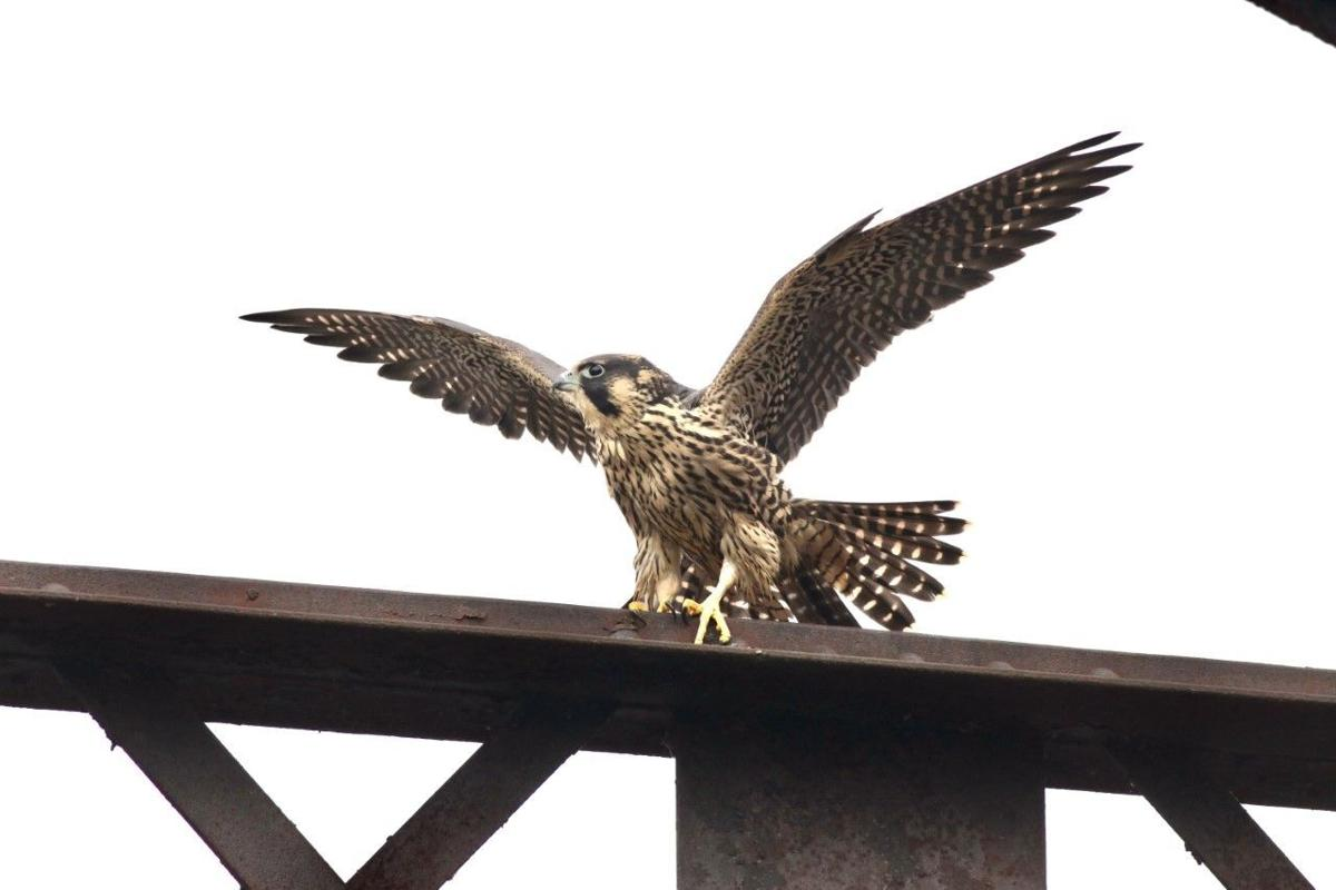 young peregrine falcon on RR bridge by Robert Meinster.jpg
