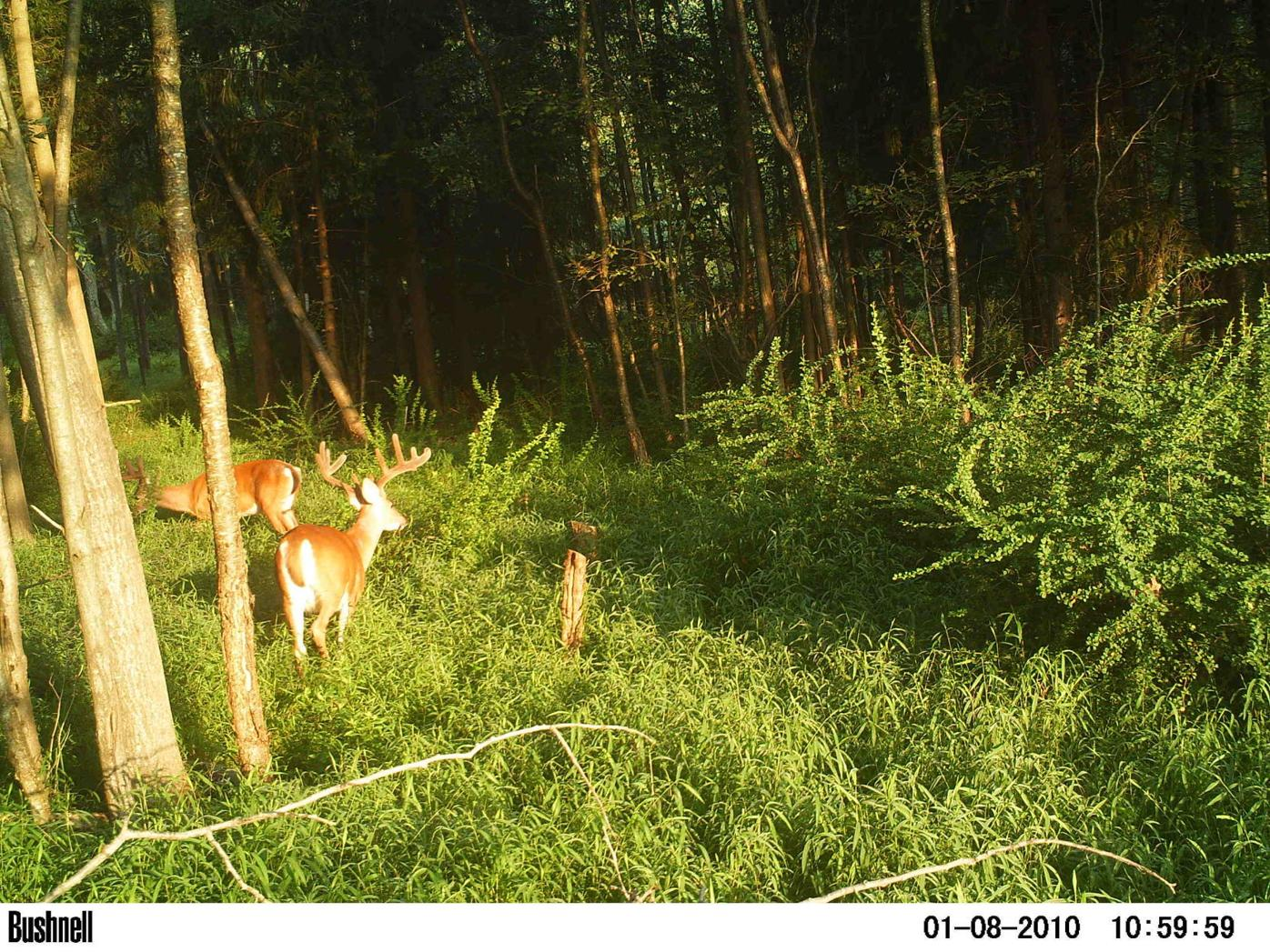 Game camera shows buck with velvet antlers