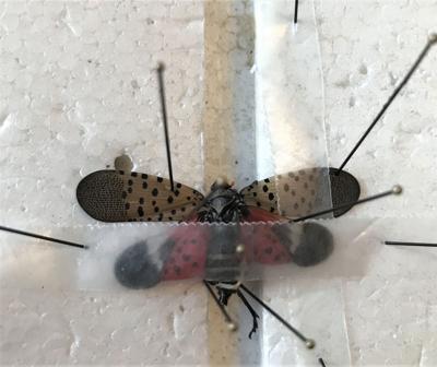 Spotted lanternfly found in Hazleton