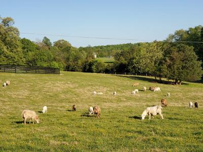 Sheep Madison County (copy)