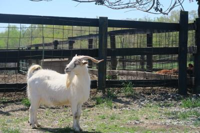Goat (copy)