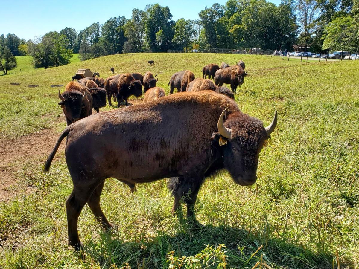 Culpeper bison buffalo