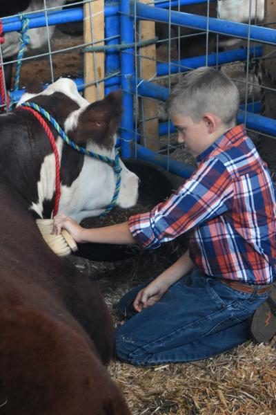 Caring for a cow