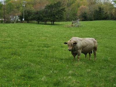 Culpeper bull cow agriculture (copy)