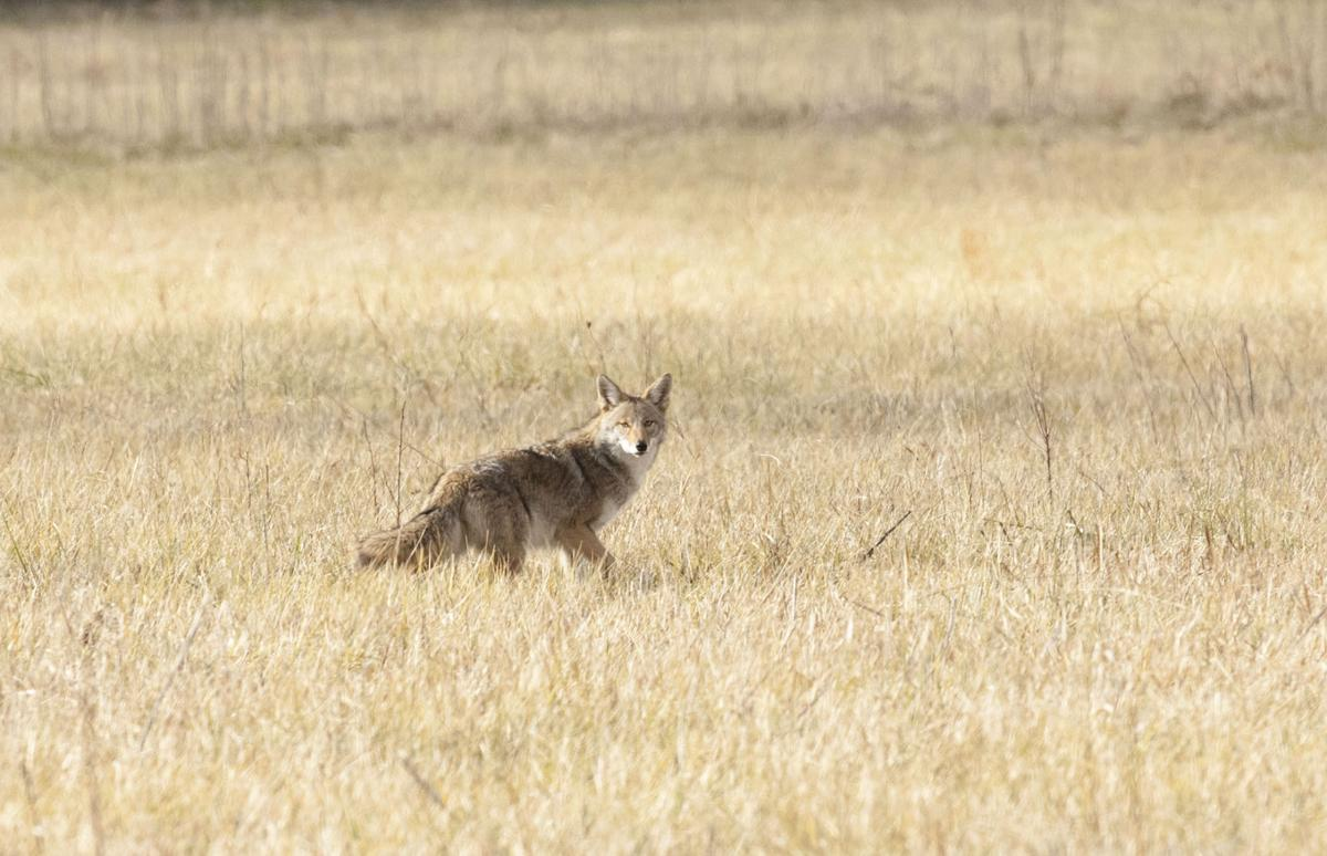 Coyote in field 1