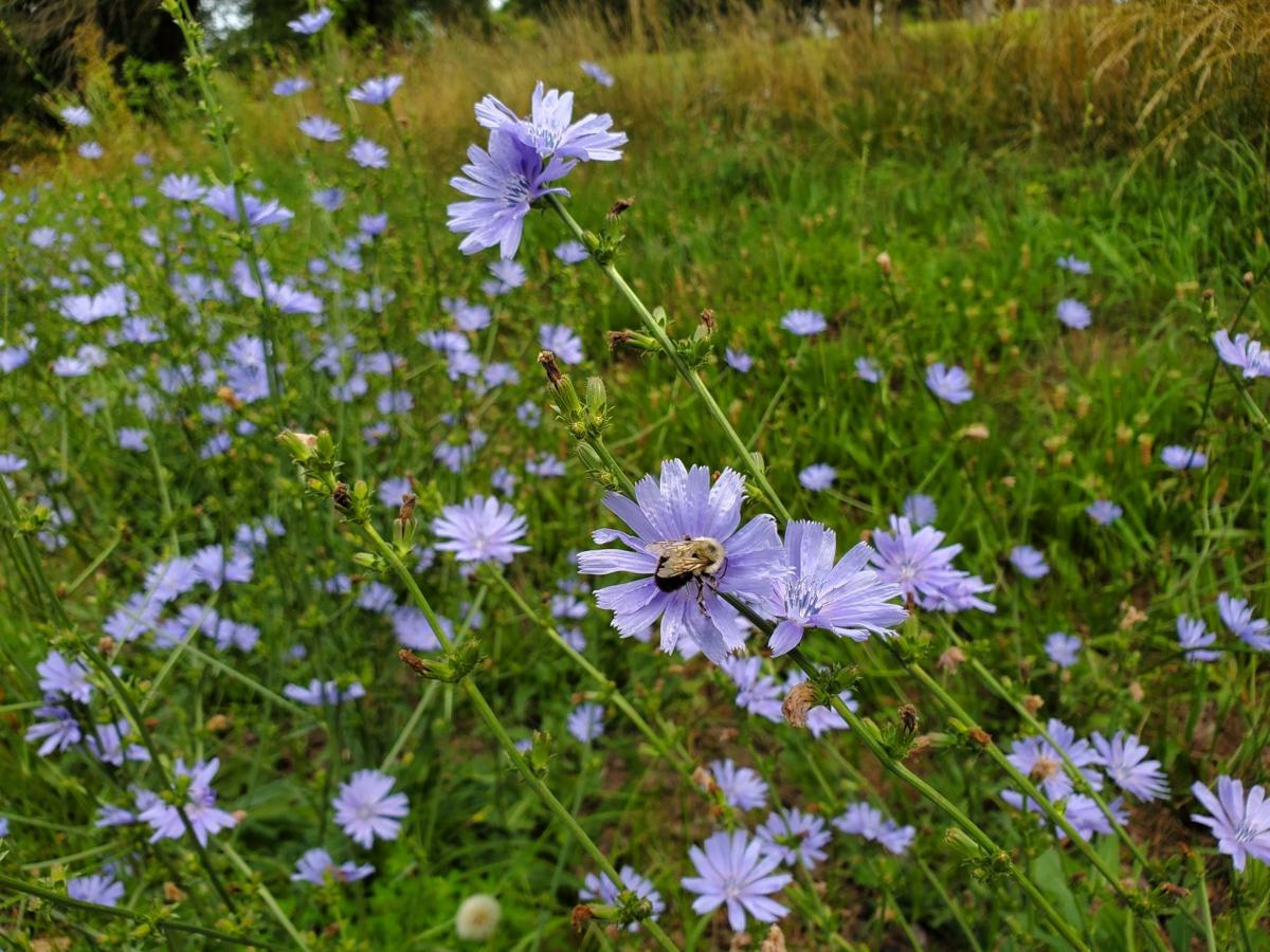 Chicory blooming country road Culpeper (copy)