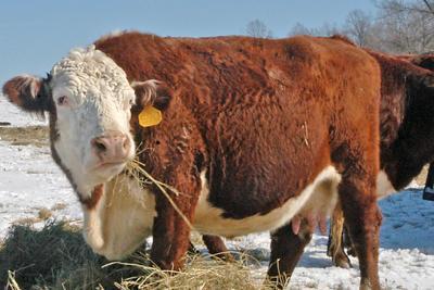 Cow Culpeper