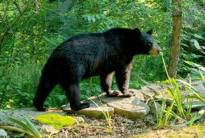 071720 Bluegrass bears.jpg