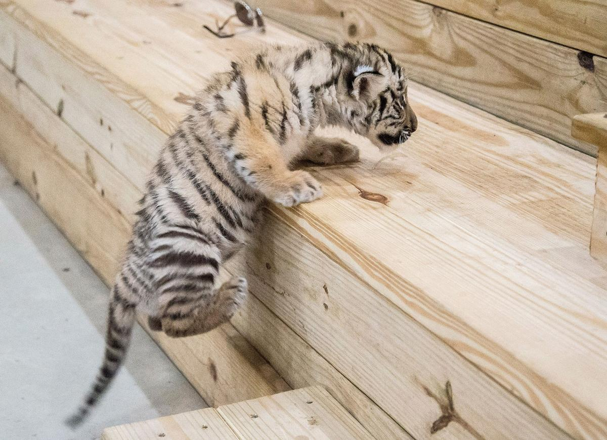 Zootastic Park unleashes tiger cub on Troutman | News | statesville.com