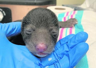 Bear Cub 01
