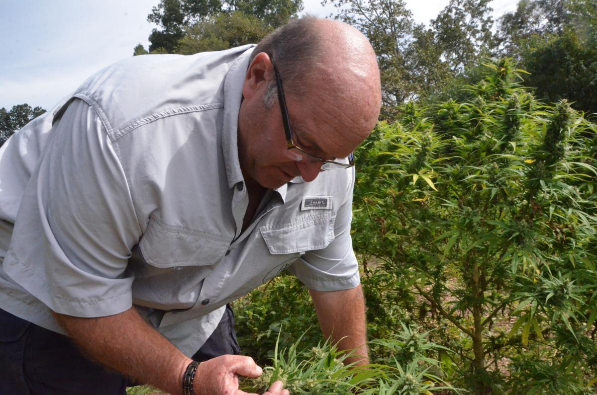 Greg Atkinson inspects one of his hemp plants in September.