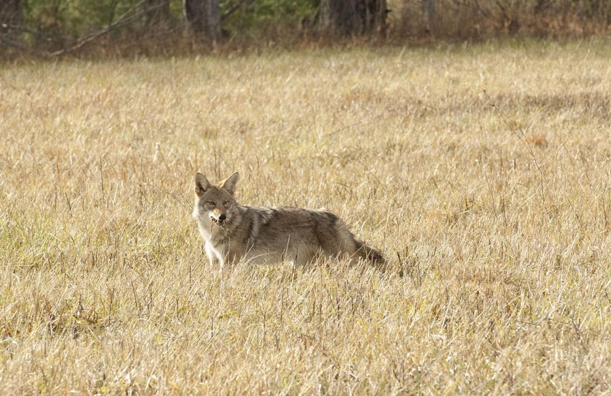 Coyote in field 2