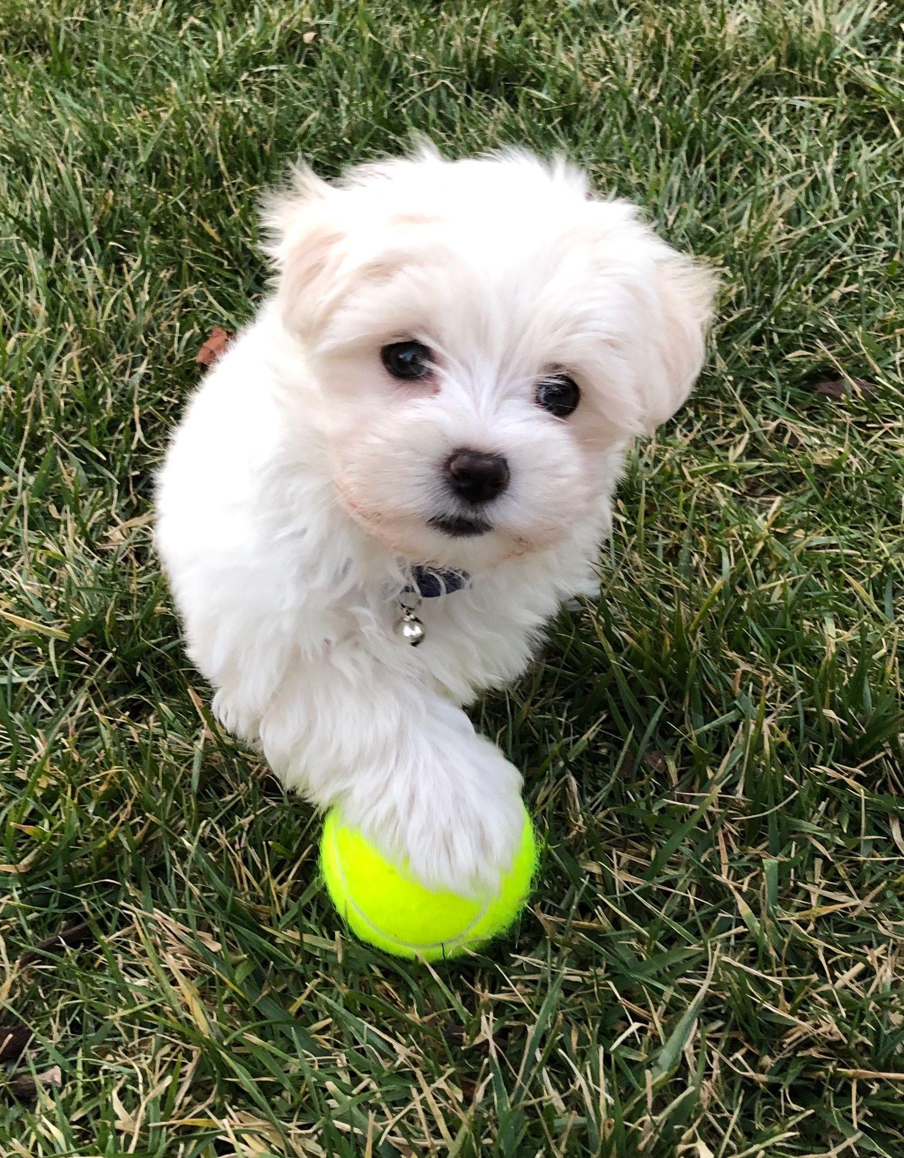 Maltese Yorkie Maltipoo Puppies Dogs Stltodaycom