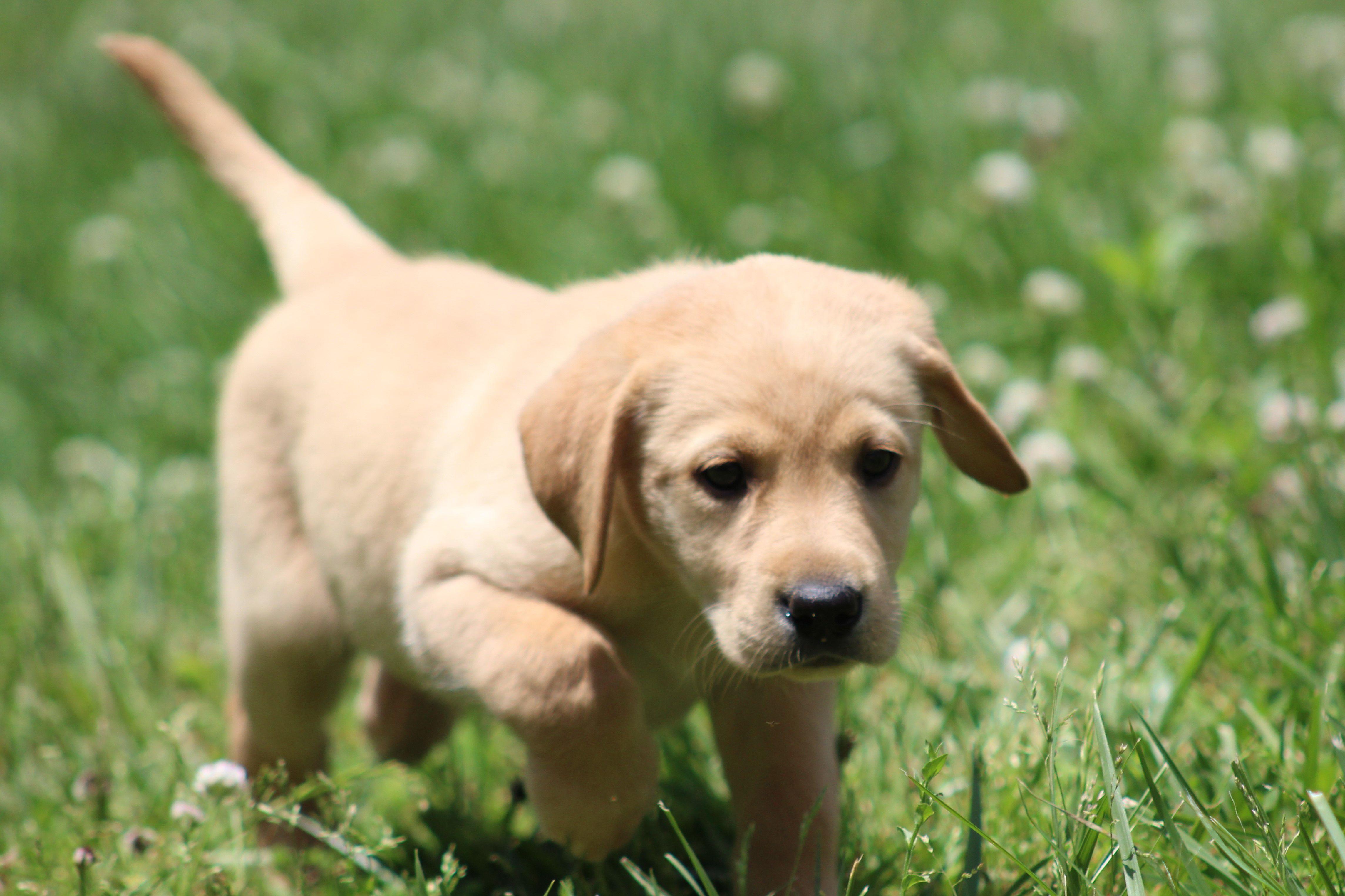 Chocolate, Yellow and Black Labrador Puppies image 1