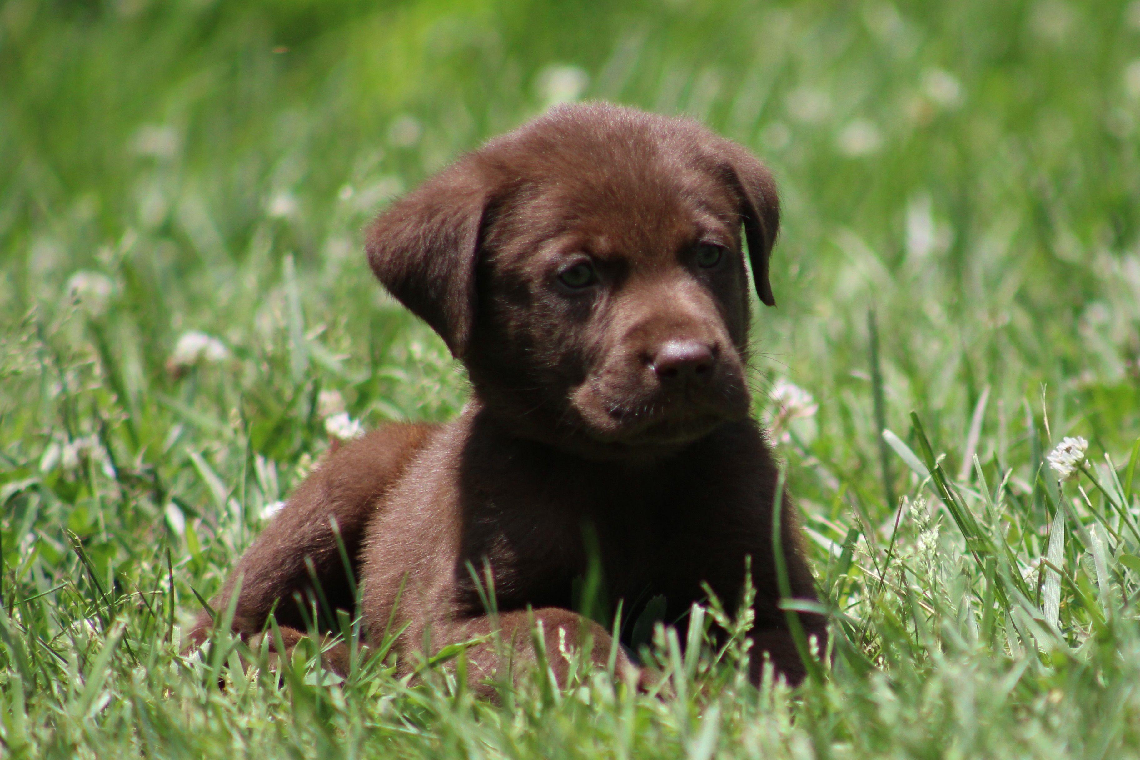 Chocolate, Yellow and Black Labrador Puppies image 2
