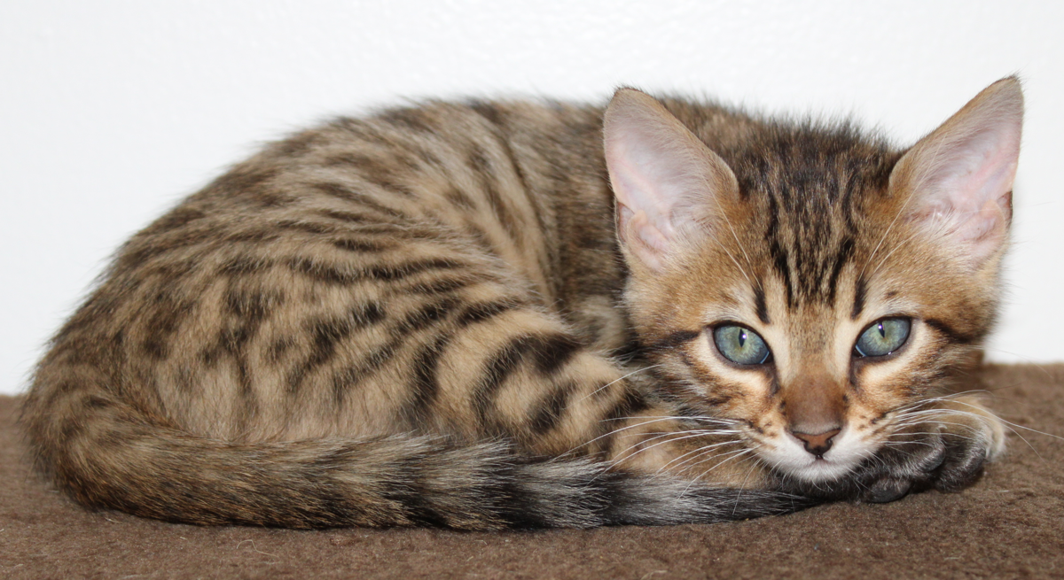 Kittens, Bengal 2