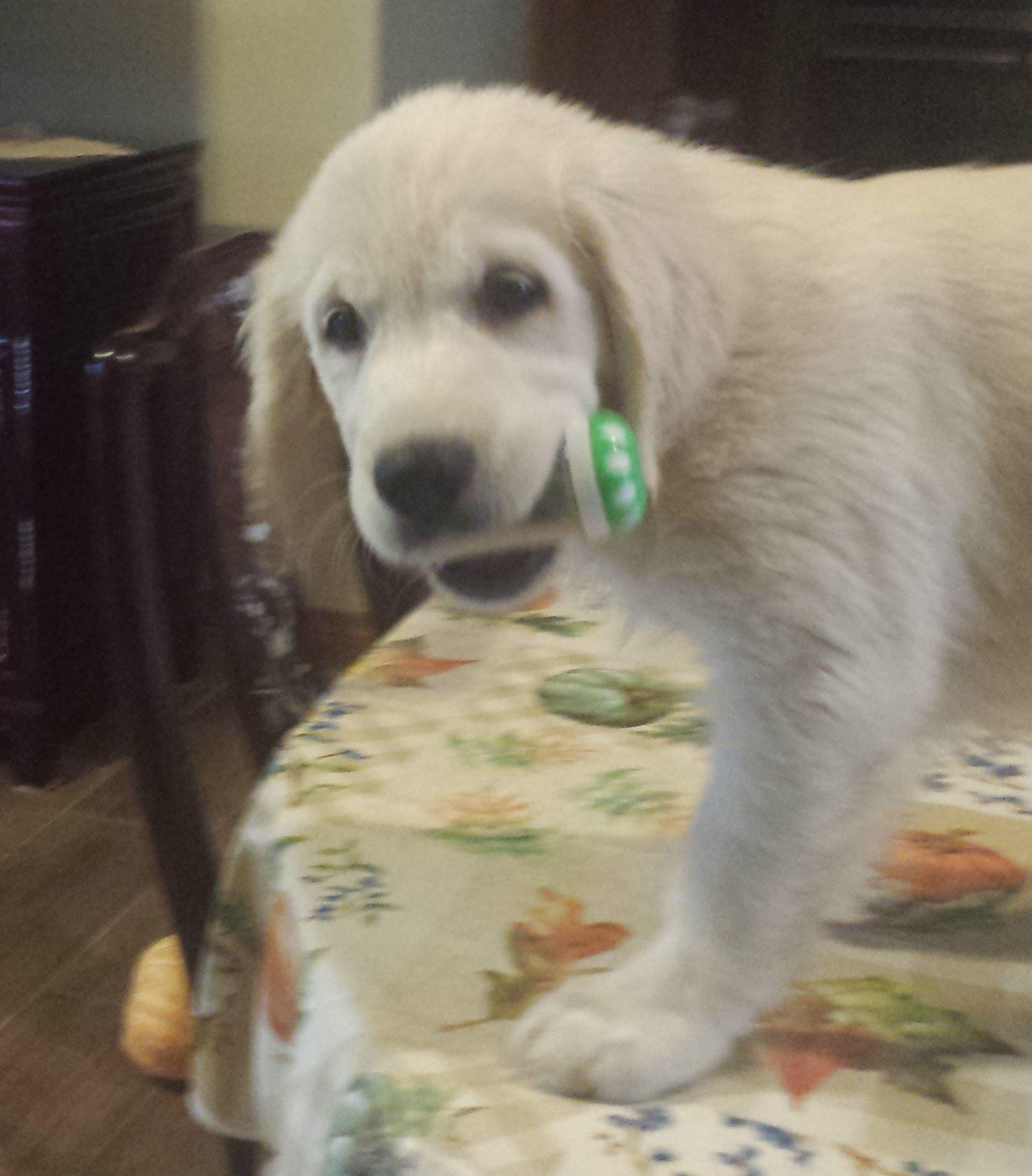 English Creme Golden Retriever Pups image 2