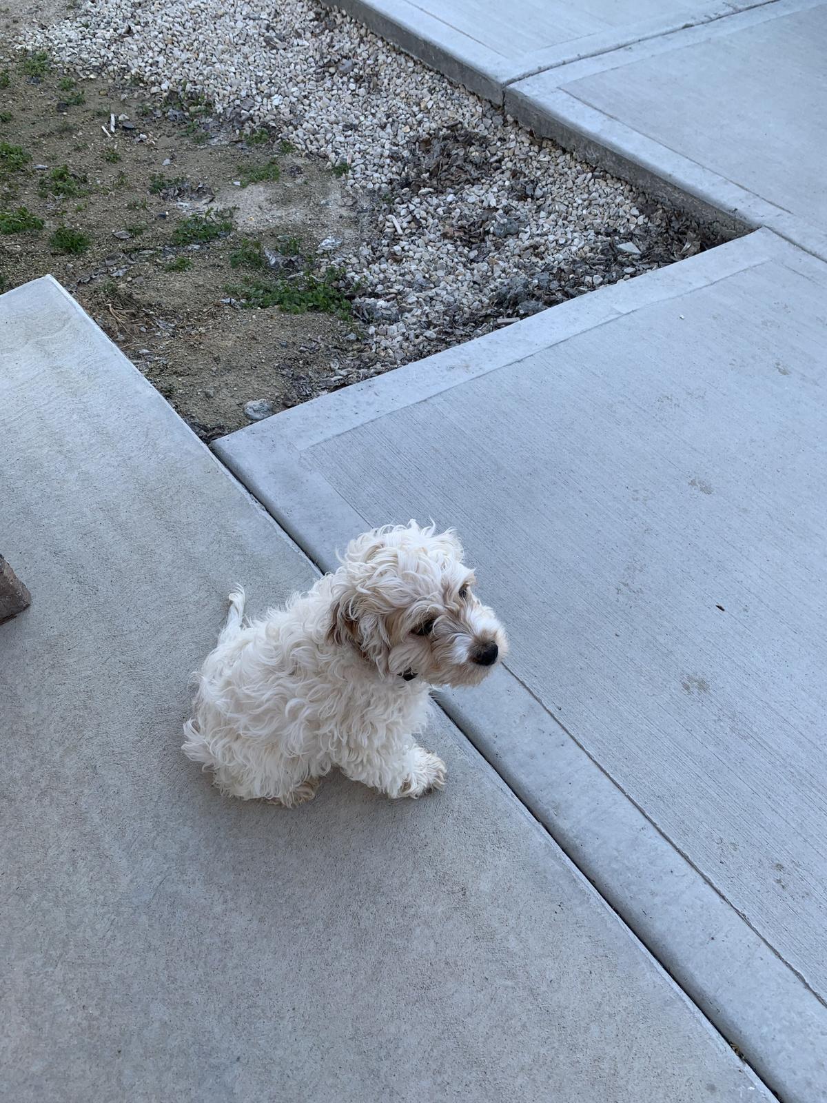 Cockapoo Puppy image 1