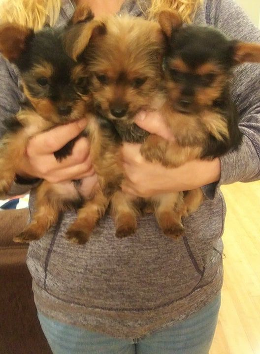 ACA Yorkie Puppies For Sale image 1