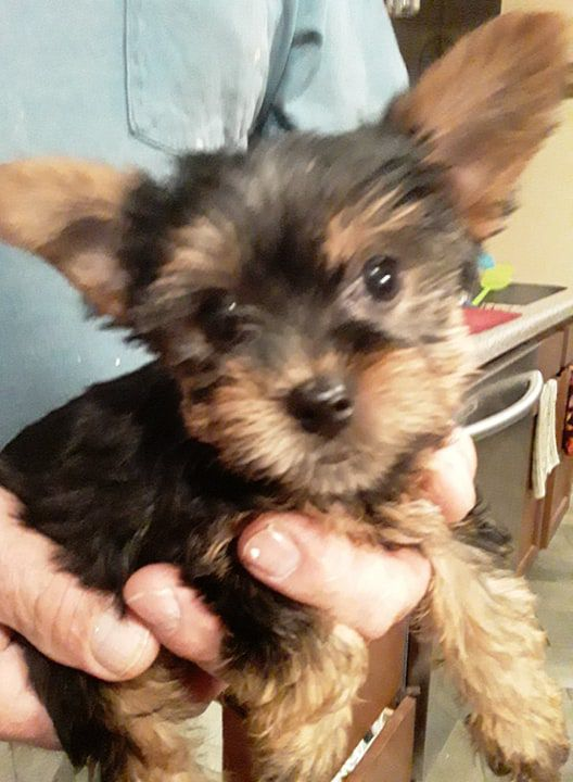 ACA Yorkie Puppies For Sale image 2