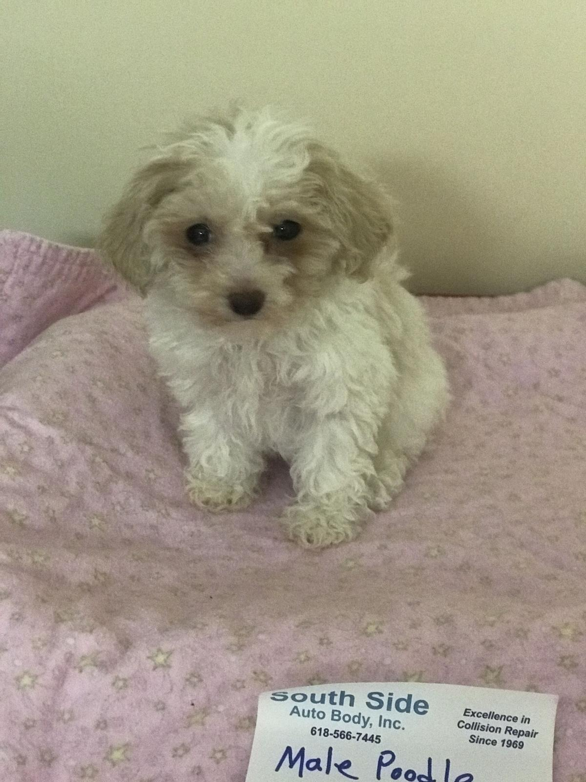 Puppies Poodle image 1