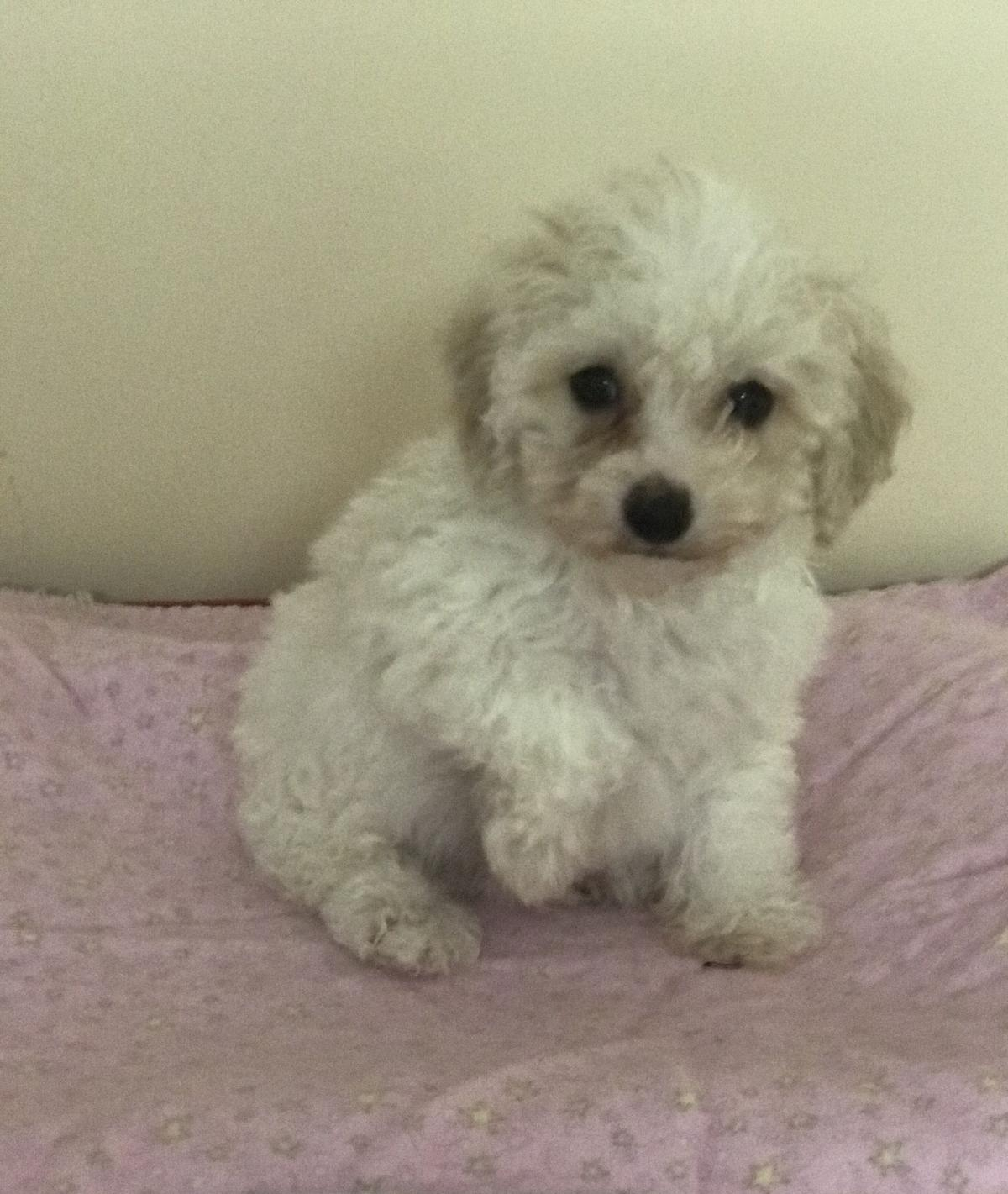 Puppies Poodle image 2