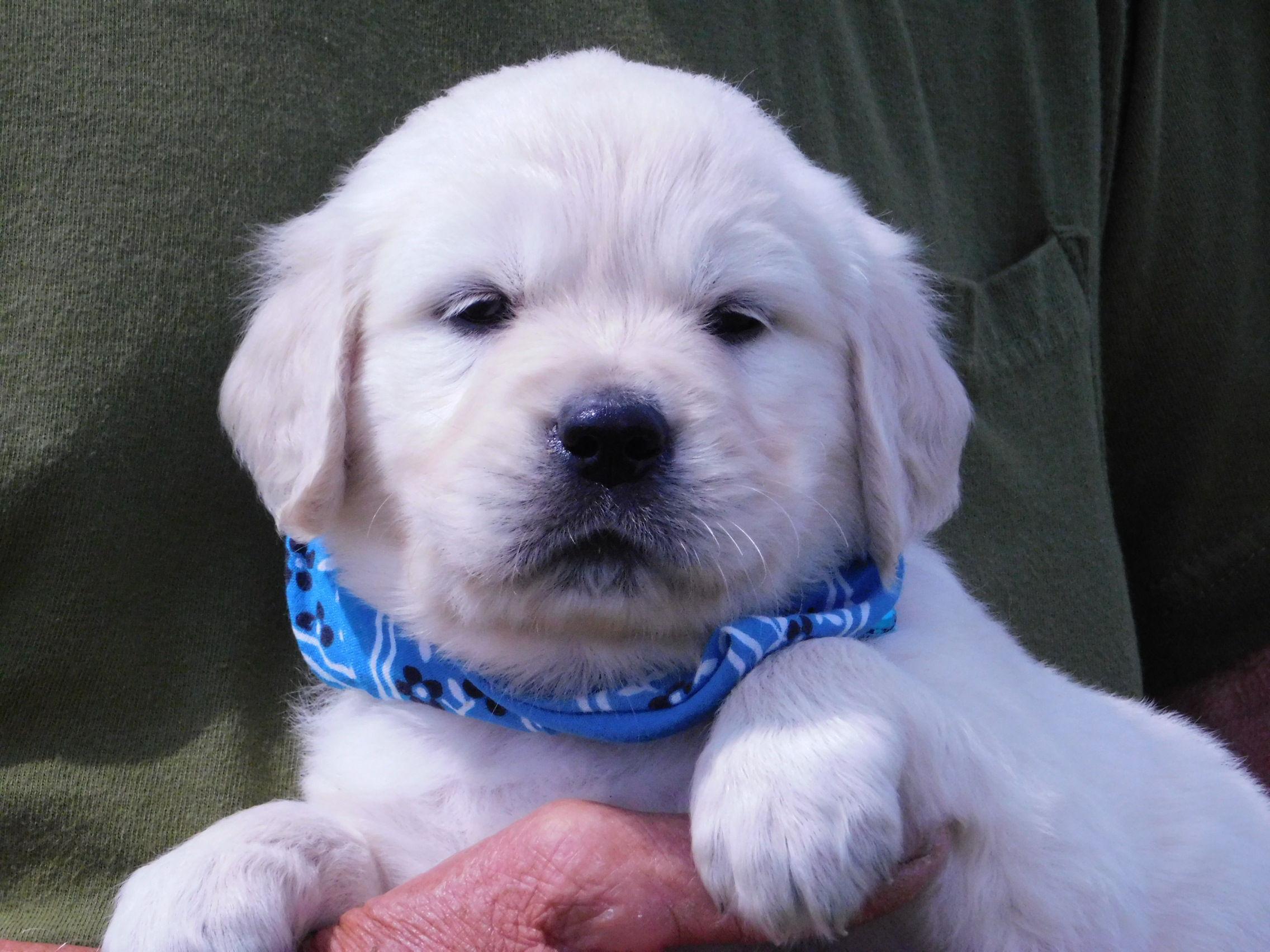 English Cream Golden Retriever Puppies image 1
